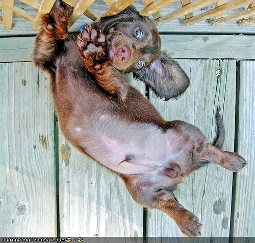 asking cyoot puppeh ob teh day dachshund floating Gravity on please puppy request suspended upside down - 4416332032