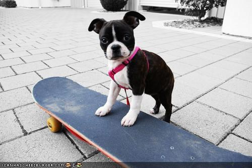 board cyoot puppeh ob teh day french bulldogs puppy question ride skate skateboard skateboarding skating - 4416344064
