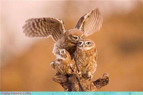 adage family Owl owls rhyme squee strigiformes three three is a crowd