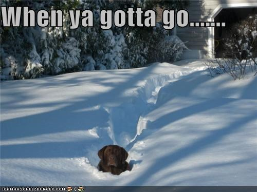 bathroom labrador need snow time uncontrollable urge use - 4423222016