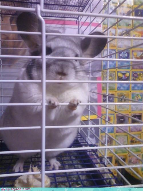 appropriate,chinchilla,dulce,energetic,happy,name,reader squees,sugar,sweet