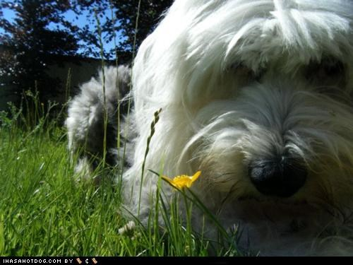 comparison,Flower,old english sheepdog,pretty,themed goggie week