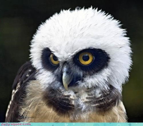 eyes,feathery,Fluffy,gaze,molting,Owl,Precious,Staring,staring contest