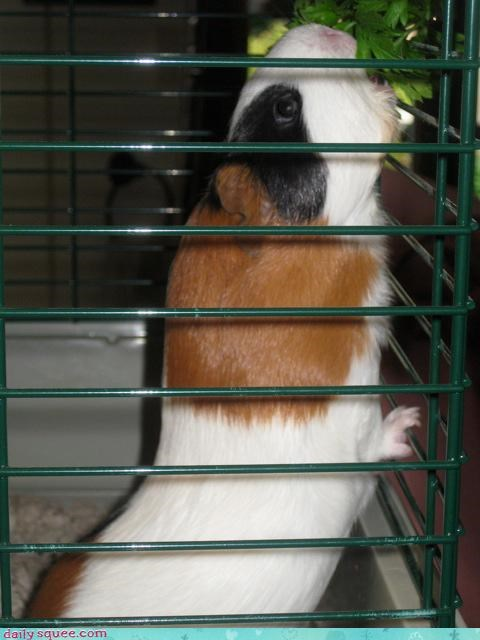 cage,guinea pig,leaves,snack,stretch