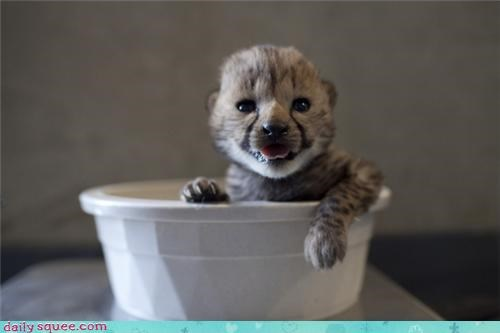baby,bowl,cheetah,cheetahs,drink,mouth,mouth open,squee,tongue