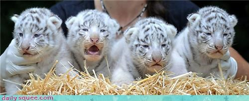 cubs,line up,tigers,white tigers