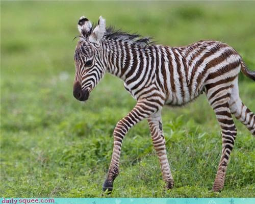 baby colt stripes tiny zebra - 4437017344