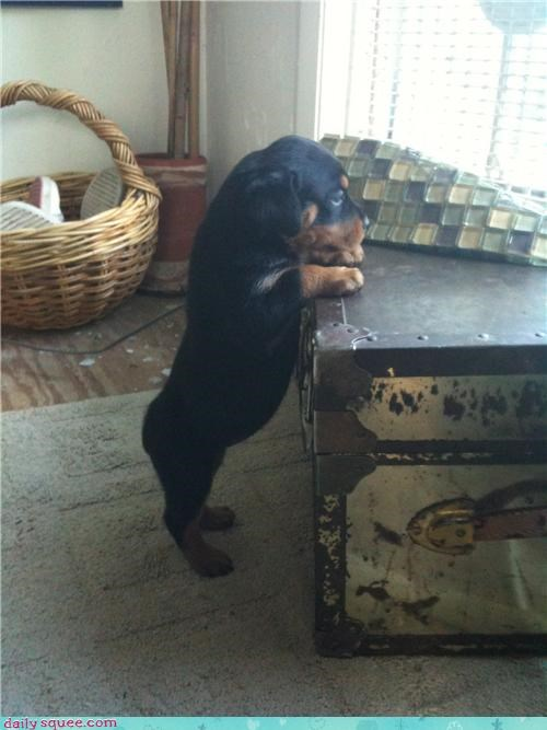 dreaming hunchback of notre dame out there peeking puppy rottweiler song soundtrack Staring window - 4437480704