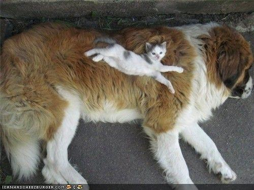 bed dogs goggies goggies r owr friends huge Interspecies Love kitten nap sleeping - 4440884224
