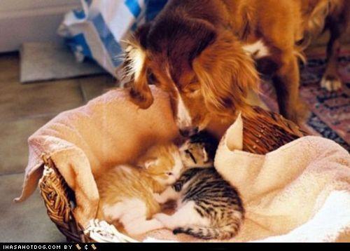 babysitting caring cat cuddling english springer spaniel friends friendship kittehs r owr friends kitten mixed breed sleeping - 4440886016