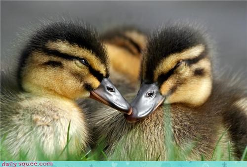 adorable,bills,dating,duck,duckling,ducklings,ducks,love,nuzzling,plans,Precious,romance,Valentines day