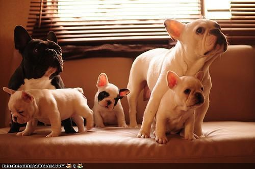 cyoot puppeh ob teh day,family,french bulldogs,Hall of Fame,happy,parents,puppies,puppy,togetherness