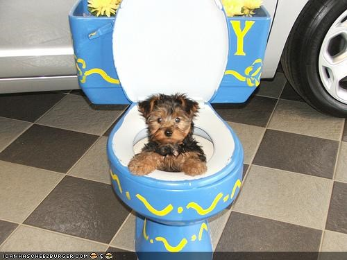 cyoot puppeh ob teh day halp help potty puppy stuck tiny toilet yorkshire terrier - 4441629696