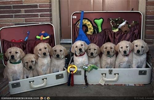 cyoot puppeh ob teh day labrador packed prepared puppies puppy ready suitcase vacation - 4441647616