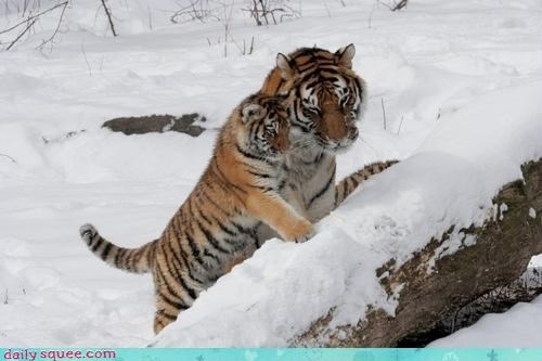 baby cub dad learning mom parent parents showing squee spree tiger - 4442229504