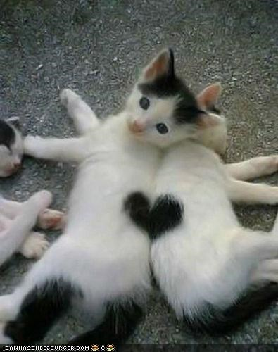 black and white,cyoot kitteh of teh day,fur,heart,kitten,love,pattern,two cats,valentines