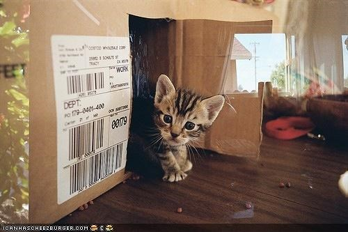 box boxes cardboard box cyoot kitteh of teh day door fort whos-there - 4442769920