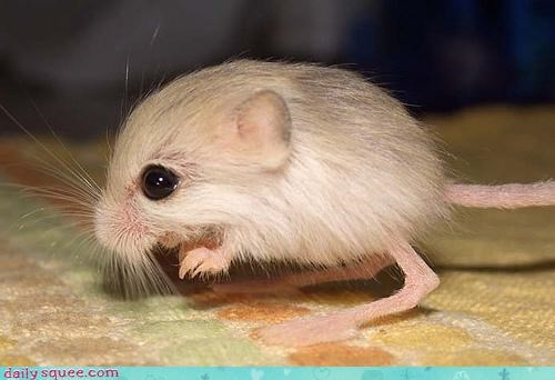 asking cute jerboa mousy question song tiny what-is-this-animal - 4442814464