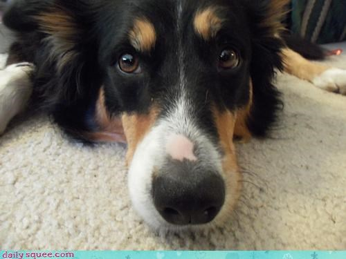 australian shepherd best boop booper close up curious cute do want dogs invading nose personal space worst zoom - 4443101184