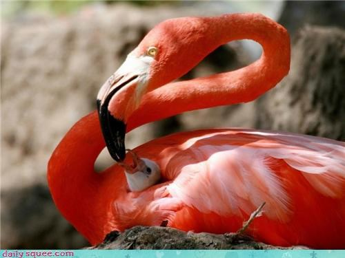 attention baby chirping coloring cute feathers feeding flamingo hungry mother nesting parent starved - 4444808960