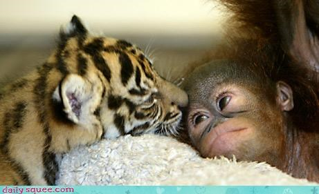 adorable baby boundaries cuddles cuddling friendship love monkey snuggling squee squee spree tiger