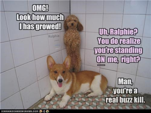 buzzkill Chart cheating corgi grew Growing growth height just saying measuring miniature pointing out poodle standing toy - 4447004928
