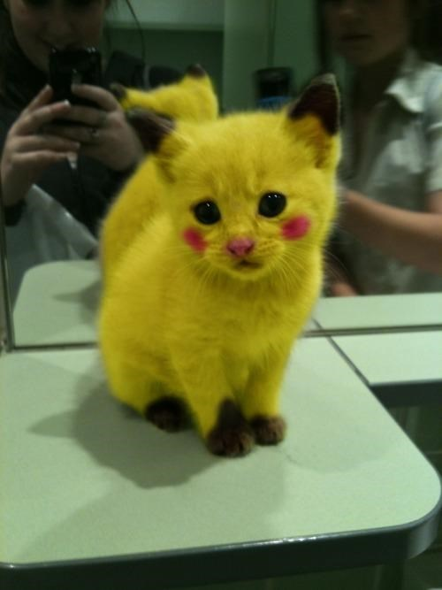 adorable animals,Fan Art,IRL,pikachu,Pikachu kitten,Pokémon