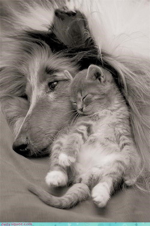 attack cat collie cuddles cuddling dogs friendship kitten knocked out modern english nap napping parody resting sleeping song title - 4447909888