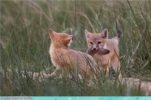 baby bickering biting fighting fox foxes little playing rivalry sibling tail tails wrestling young - 4448026112