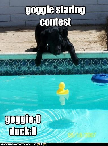 contest,duck,FAIL,labrador,lose,loser,rubber ducky,score,Staring,staring contest,win,winner