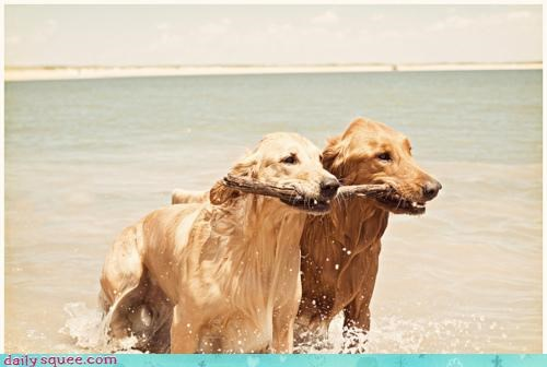 acting like animals compromise dogs fetch fetching golden retriever pragmatic pragmatism proposal stick two utilitarianism - 4448931840