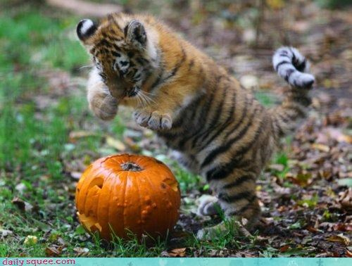 baby,cub,defending,hunting,instinct,jack o lanterns,pouncing,protecting,pumpkins,squee spree,tiger