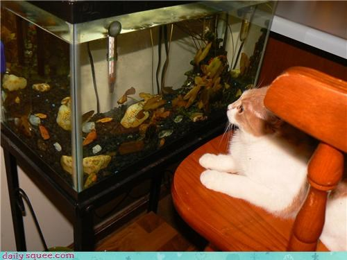 aquarium cat disaster do want fish noms pun recipe Staring tank watching - 4450625536