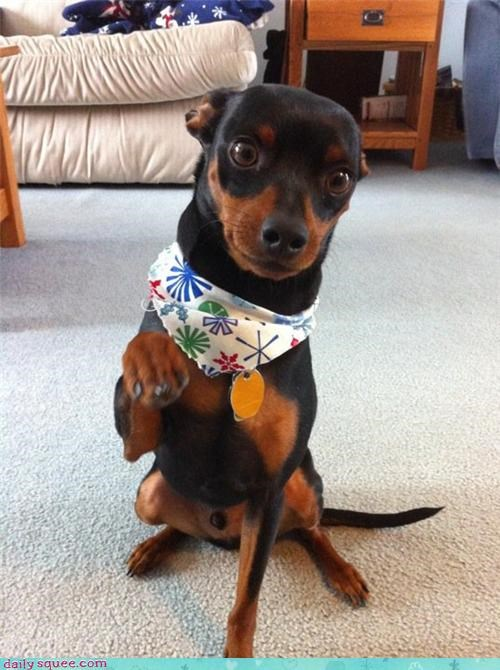 cut,dogs,fresh,min pin,miniature pinscher,nails,puppy,reader squees,showing off