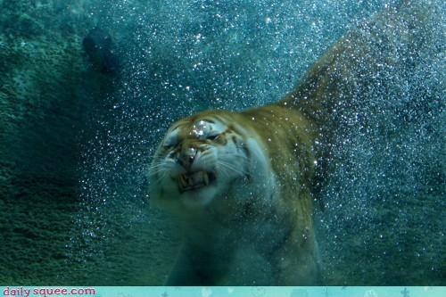 acting like animals breath holding hubris mistake swim swimming tiger underwater upset - 4452558080