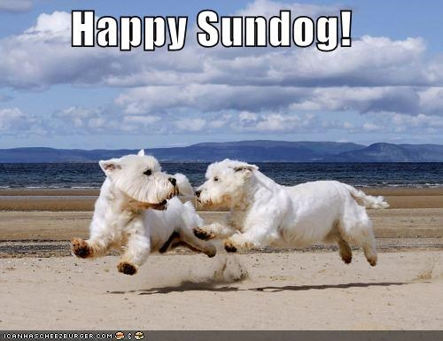beach happy happy sundog playing running Sundog west highland white terrier westie - 4452834816