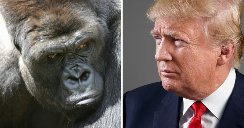 Funny fake excerpt about gorillas, michael wolff, donald trump, gorilla channel, twitter, fire and fury.