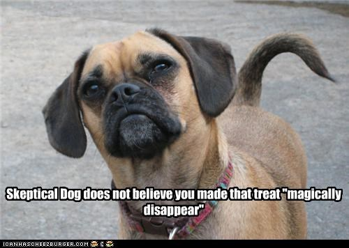 beagle,disappear,magically disappear,mixed breed,pug,puggle,skeptical