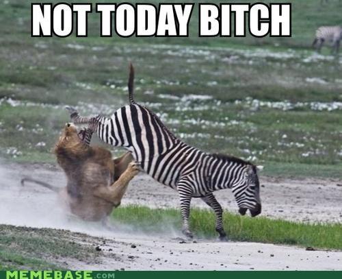 Haminals law of the jungle lion Memes zebra