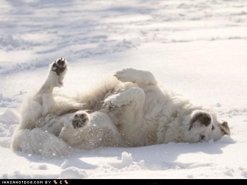 camouflage great pyrenees laying down matching playing snow themed goggie week white