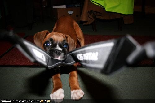 boxer,camera,camera strap,cyoot puppeh ob teh day,denial,do not want,no,photography,pulling,puppy,tug o war