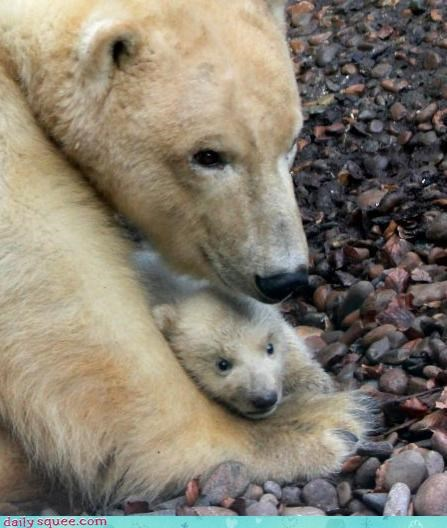 100,100 percent,adorable,baby,bear,cub,cuddling,cute,genuine,love,parent,percent,polar bear,real,squee,sweet,tiny