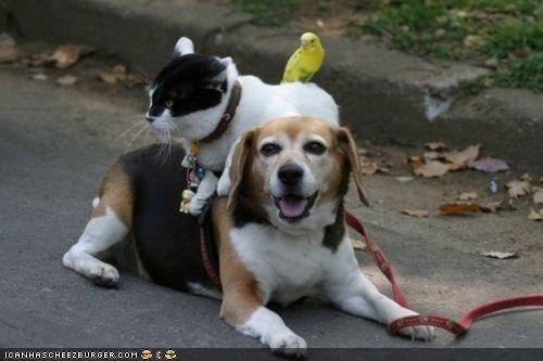 bird,dogs,friends,goggies r owr friends,Interspecies Love,lazy,on top,parakeet,pile,ride
