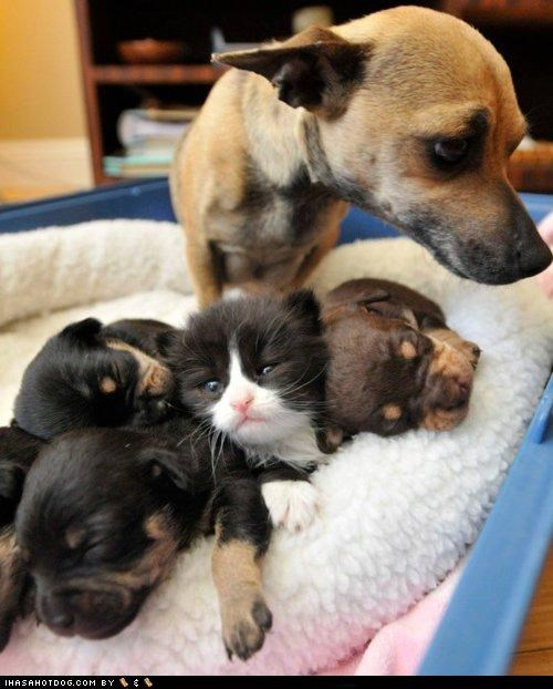 asleep bed cat chihuahua cuddling friends friendship impostor kittehs r owr friends kitten resting sleeping whatbreed - 4465096448