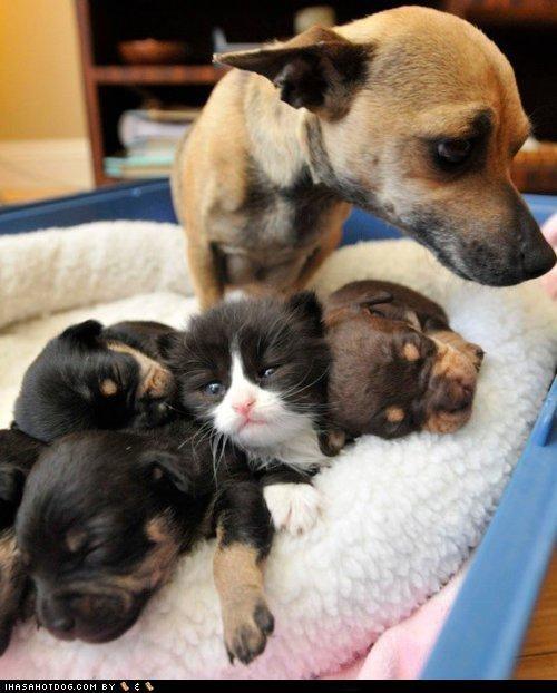 asleep bed cat chihuahua cuddling friends friendship impostor kittehs r owr friends kitten resting sleeping whatbreed - 4465096448
