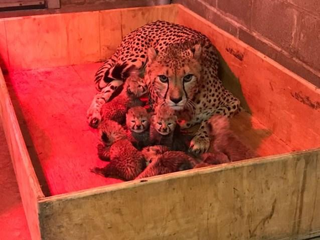 cheetah cute cubs world record - 4465413