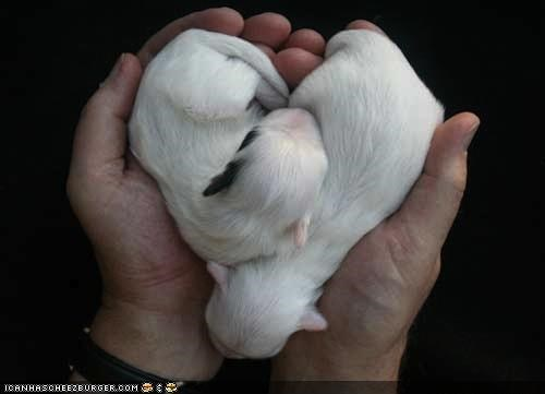 blob,blobs,cyoot puppeh ob teh day,heart,maltese,newborn,puppies,puppy,shape,sleeping,yorkshire terrier