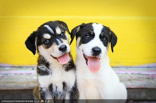 border collie cyoot puppeh ob teh day happy mixed breed puppies puppy smiling tongue - 4465439488