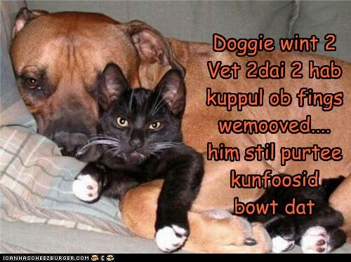 appointment cat confused cuddling explanation pit bull pitbull removed Sad today vet - 4465448960