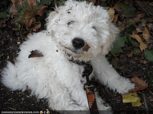 cyoot puppeh ob teh day,dirty,face,Fluffy,leaves,mess,messy,outside,playing,puppy,whatbreed